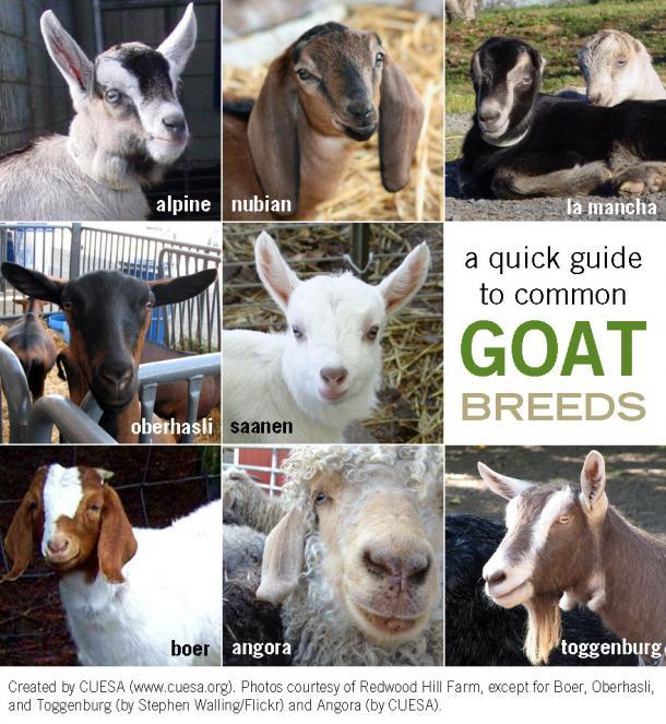 goat_breeds_0