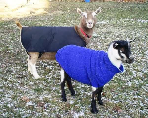 goat_coat