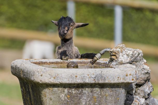 goat_fountain