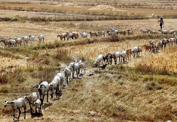 goat_line