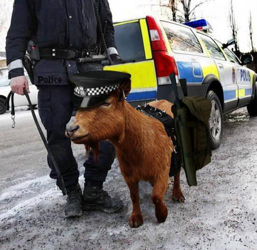 goat_police
