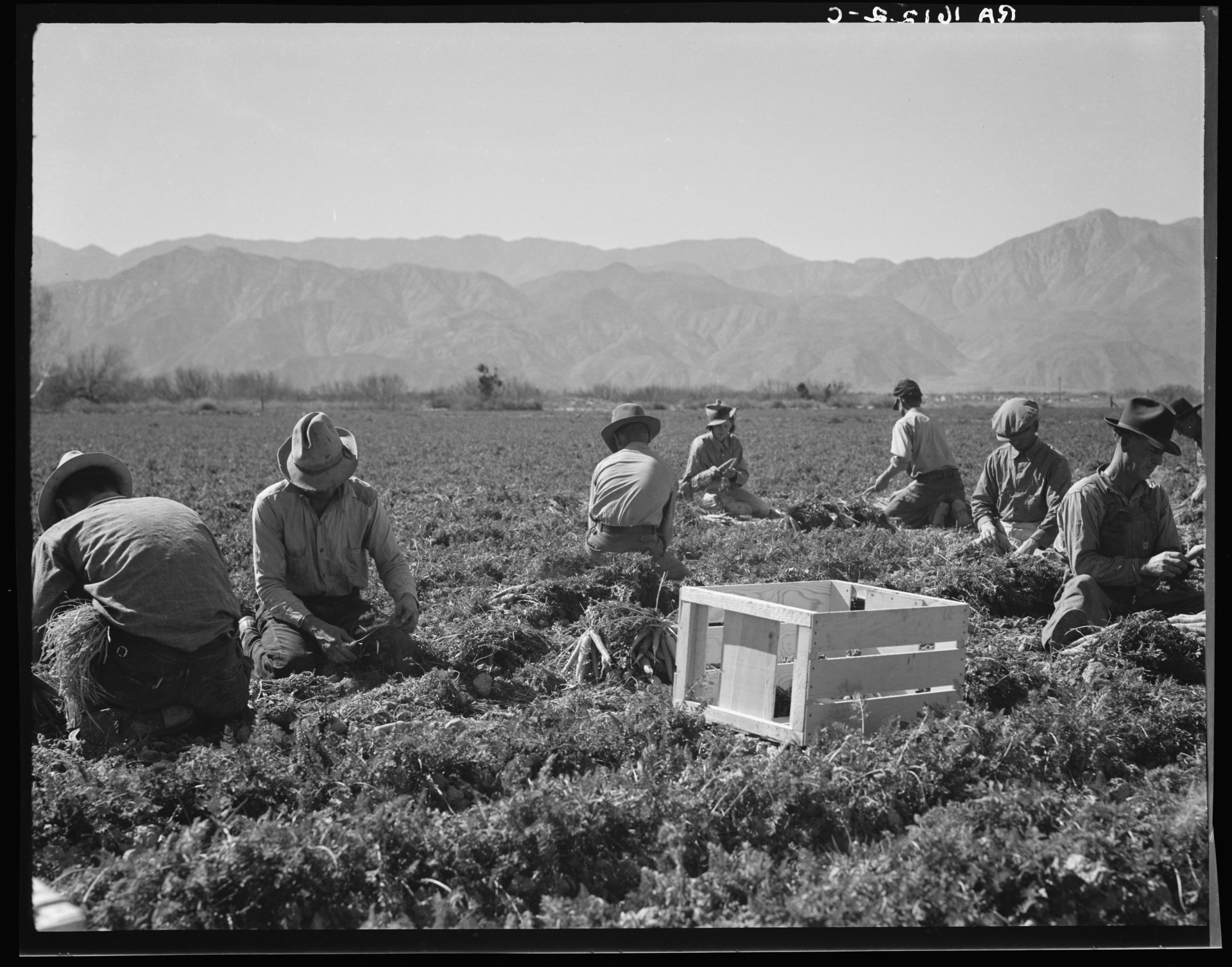 "Carrot pullers from Texas, Oklahoma, Missouri, Arkansas and Mexico. ""We come from all states and we can't make a dollar in this field noways. [sic] Working from seven in the morning until twelve noon, we earn an average of thirty-five cents."" California, February 1937"