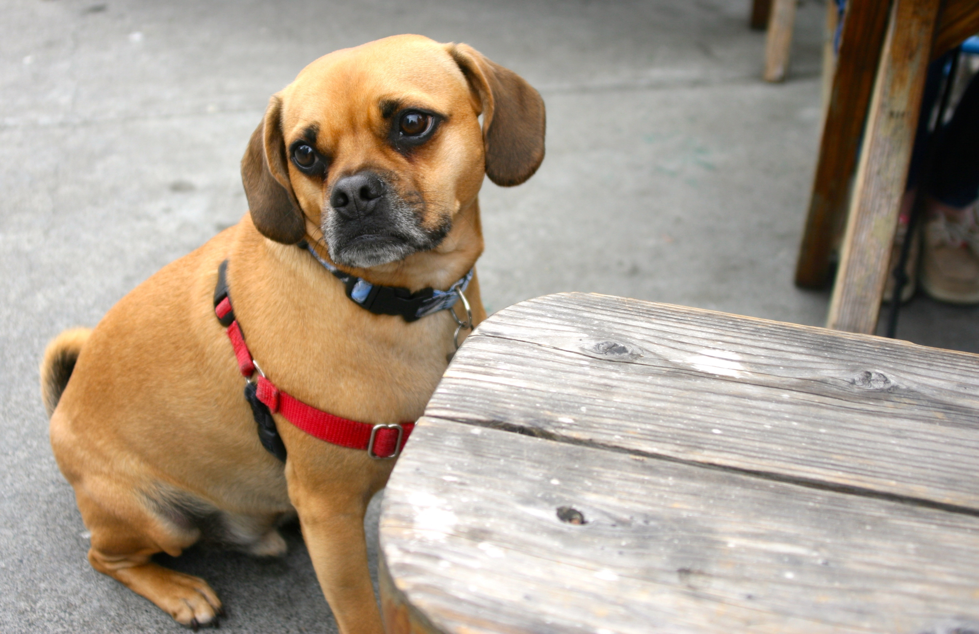 A dog looks longingly at a passing crab roll.