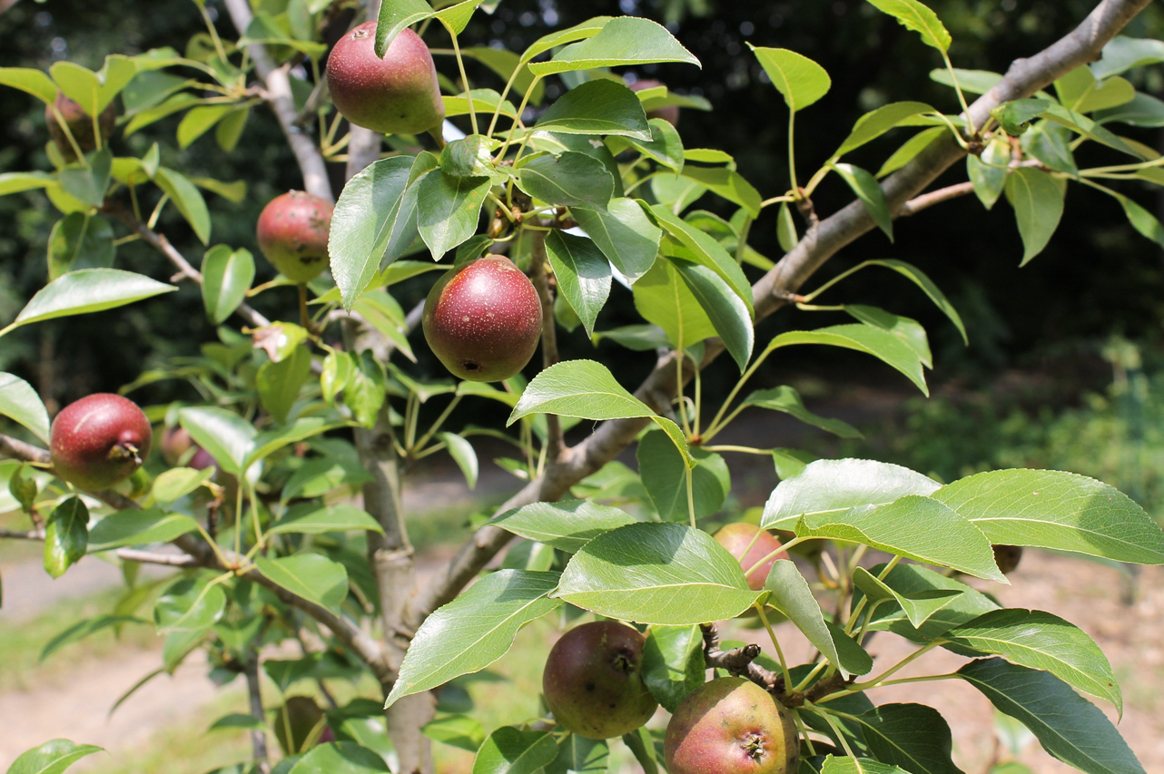 Pears ripen on the tree at the Awbury Arboretum Food Forest, one of the 48 sites of the Philadelphia Orchard Project.