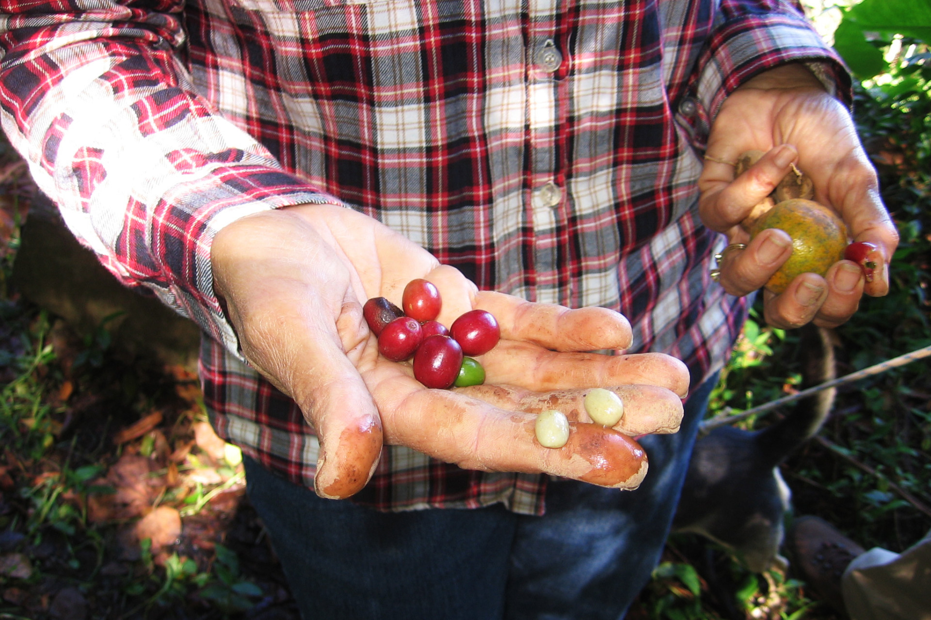 Elena Biamon holds coffee berries grown on her farm near Jayuya, a town in Puerto Rico's mountainous interior.