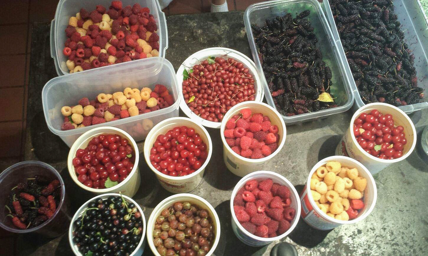 A morning's berry harvest from West Philadelphia's Ogden Orchard includes raspberries, gooseberries, currants, goumis and mulberri