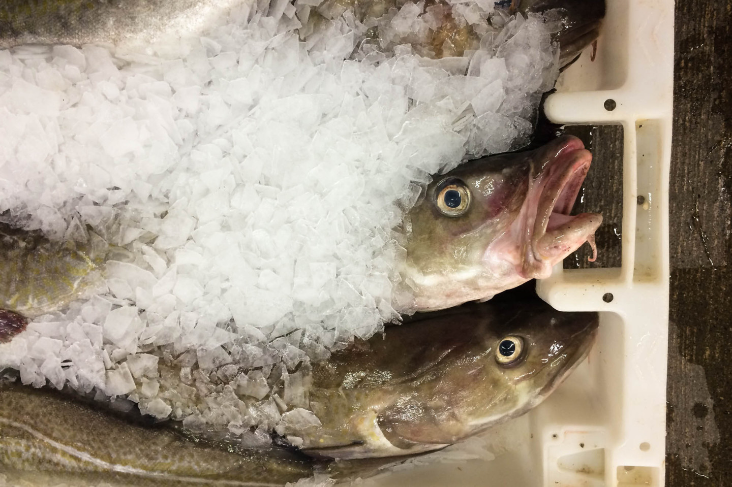 Cod Comeback: How The North Sea Fishery Bounced Back From The Brink