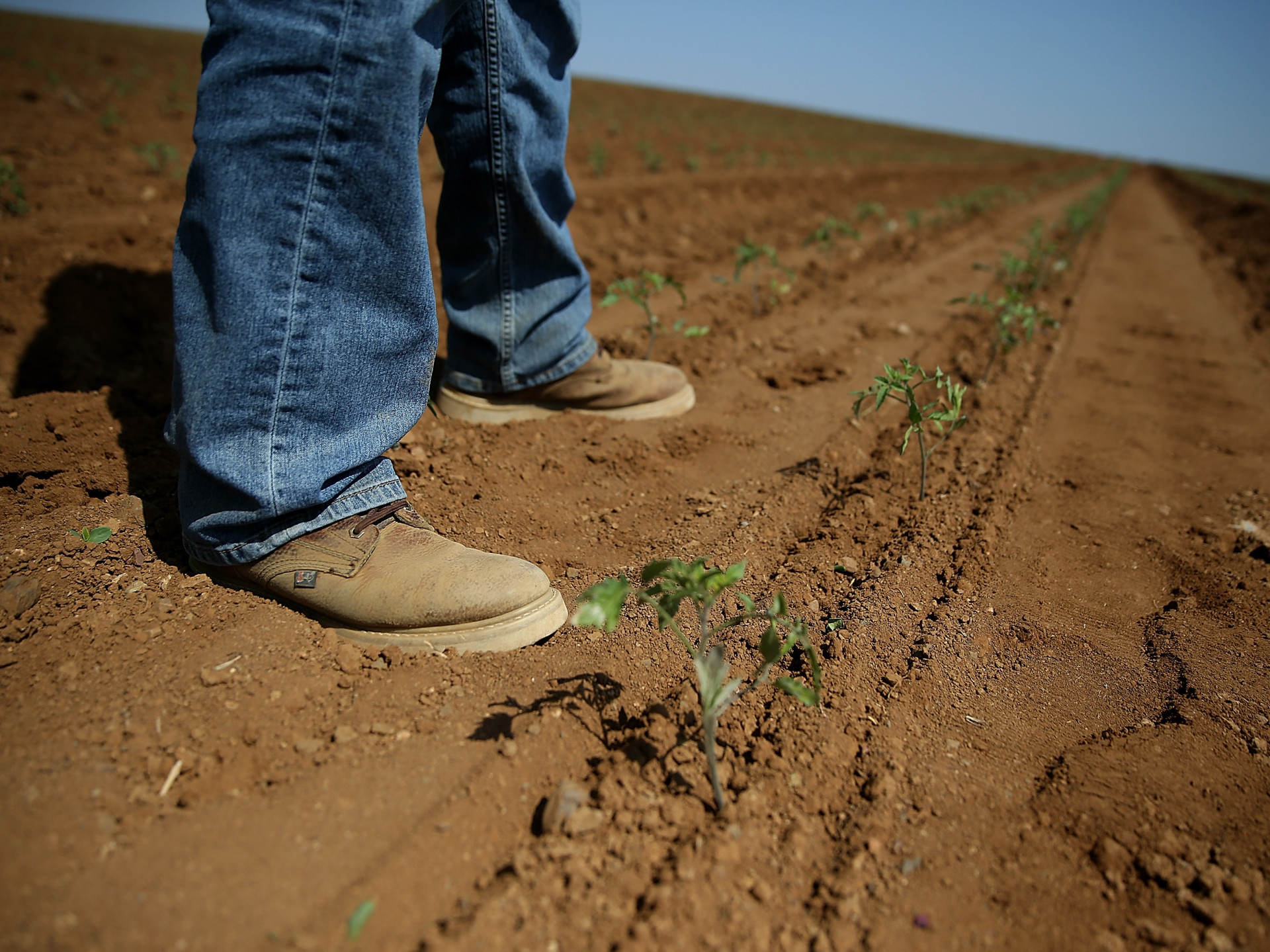 Arow of newly planted organic tomatoes on April 23, 2015 in Firebaugh, Calif. Some farmers are moving tomato production to the north of the state where water supplies are better.