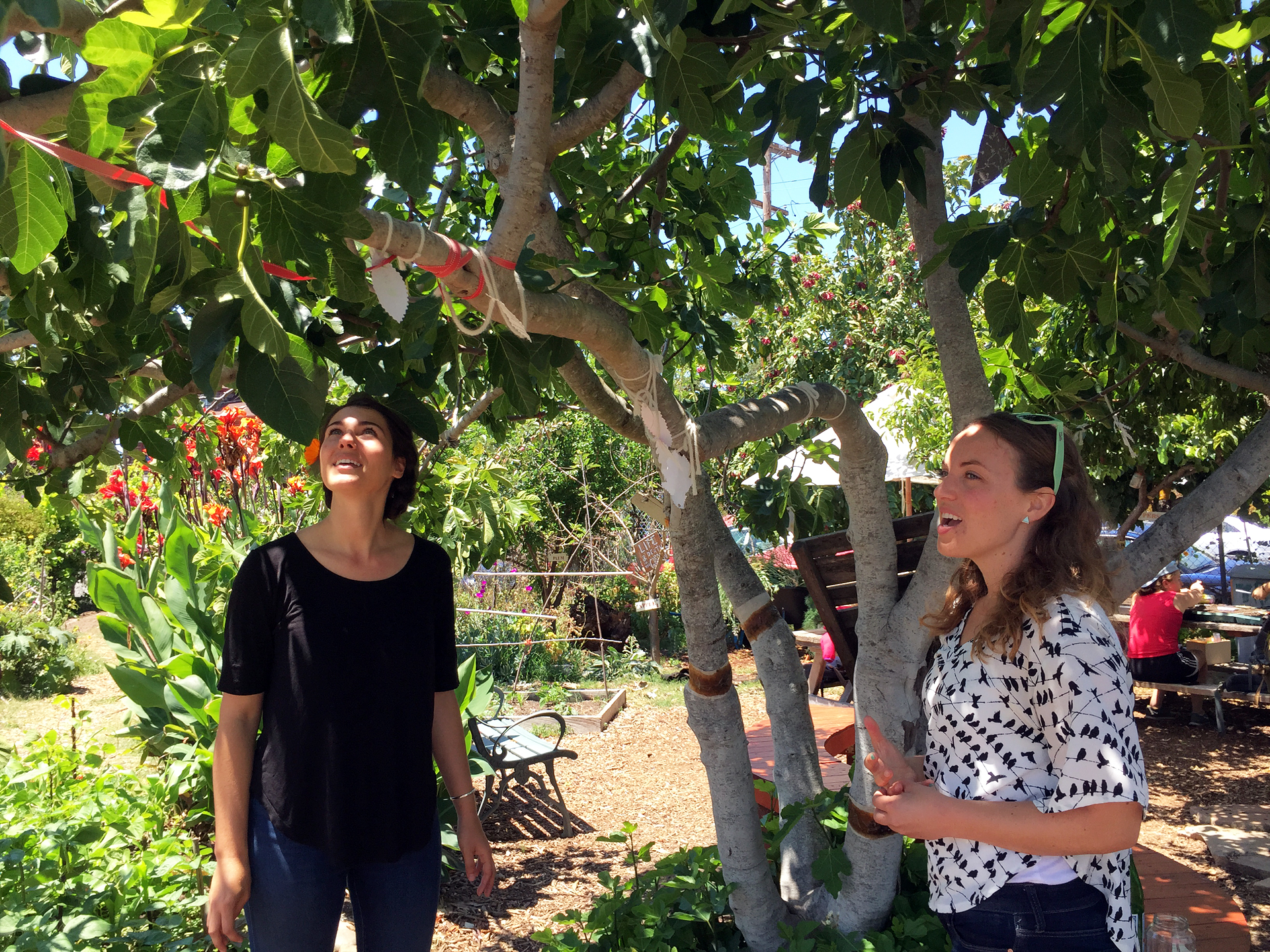 Kate Kaplan (left) and Sara Cate Jones are two of several SOGA garden managers. They are anxiously awaiting the first figs to ripen, which will happen in a matter of weeks.
