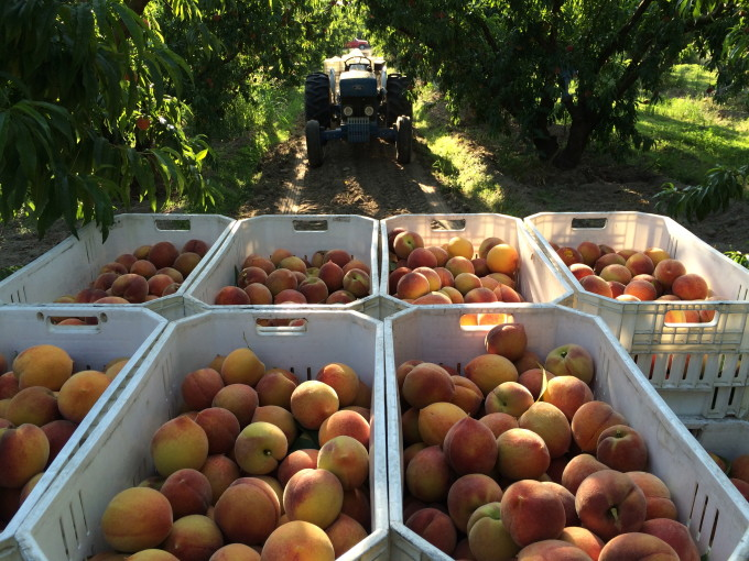 How Buying Smaller Fruit Could Save California's Drought-Stricken Family Farms