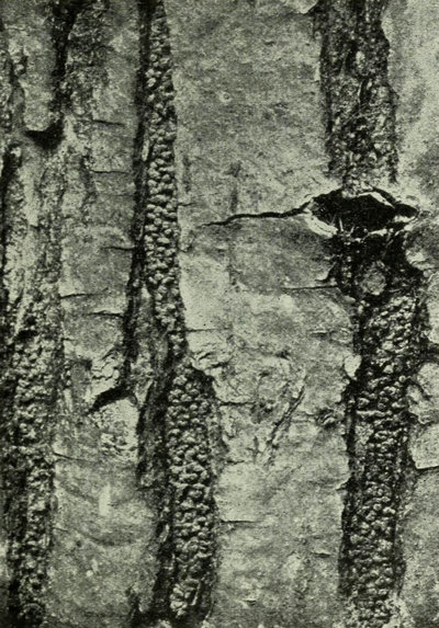 A photo from a 1917 textbook on mycology and plant pathology shows pustules of chestnut blight fungus in the crevices of bark of a fallen chestnut tree in 1913.