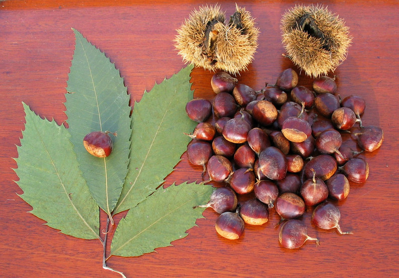 Before blight decimated most of the American chestnut trees in the U.S., one of the great autumn pastimes was collecting the nuts and transforming them into pan-fried bread, porridge, pickles, preserves or cream pie.
