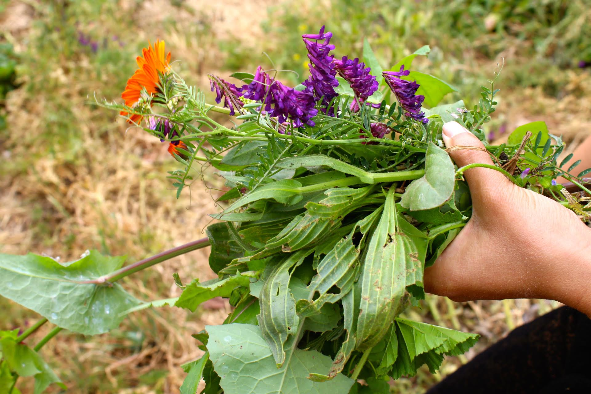 Edible weeds found around Oakland: Calendula, vetch and plantago.