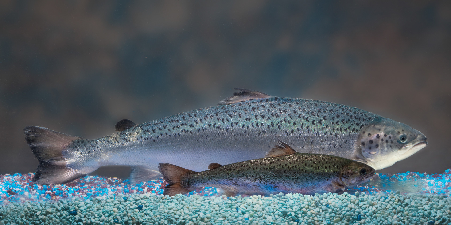 AquaBounty's salmon (background) has been genetically modified to grow bigger and faster than a conventional Atlantic salmon of the same age (foreground.)