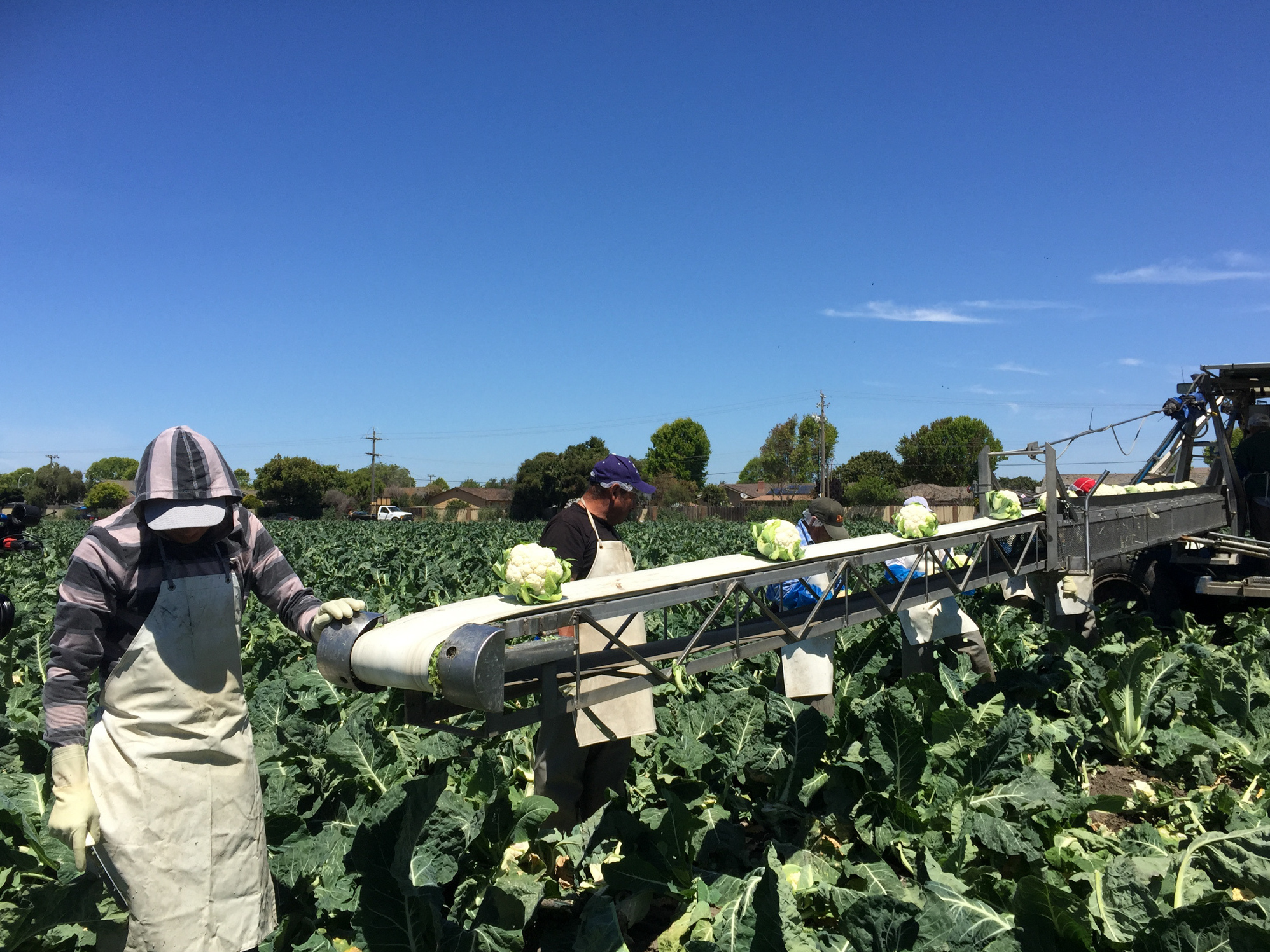 Cauliflower on the conveyor belt at Ocean Mist Farms in Salinas Valley, Calif.