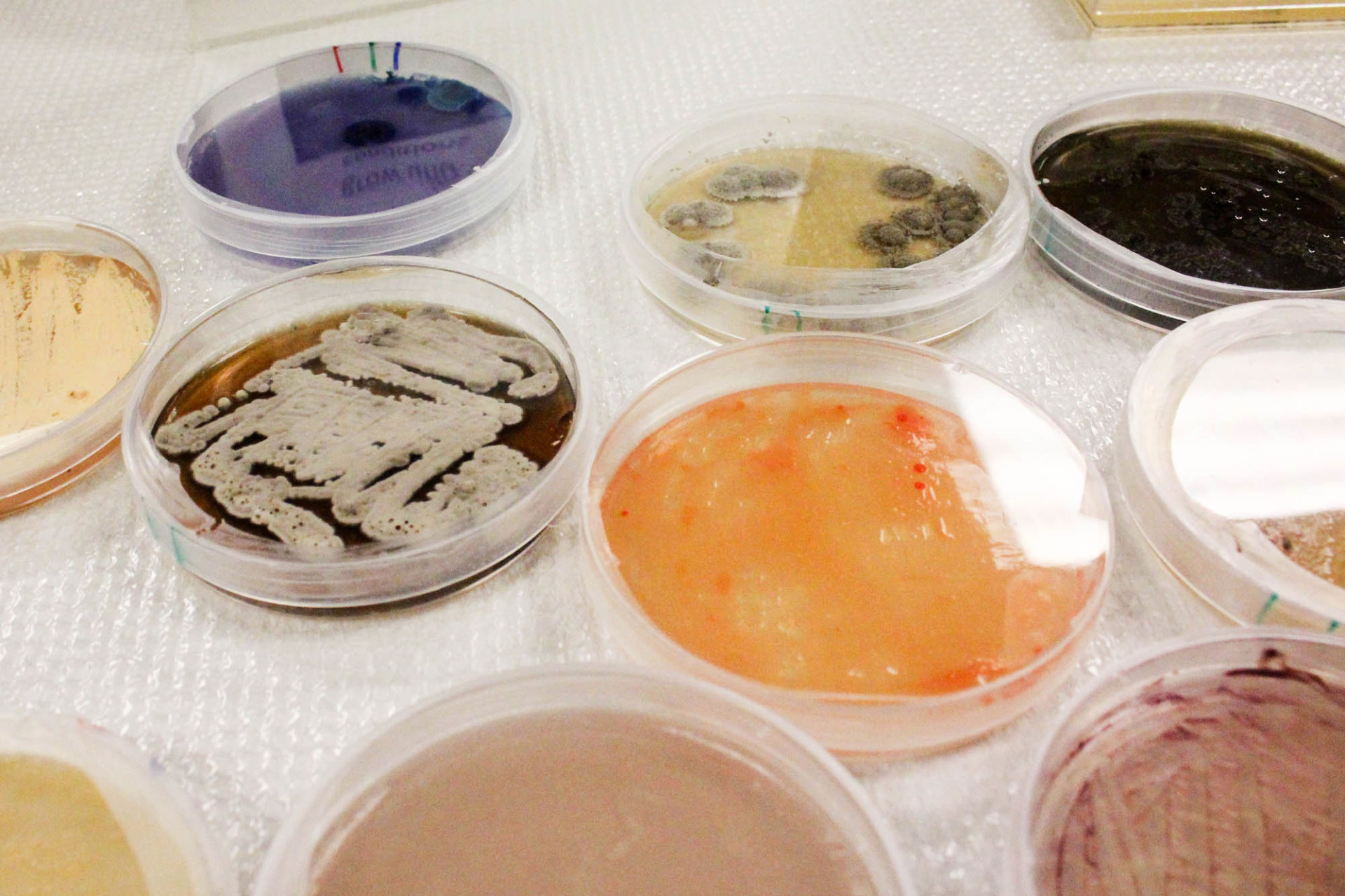 Petri dishes filled with colonies of microorganisms at Marrone Bio Innovations, in Davis, Calif.