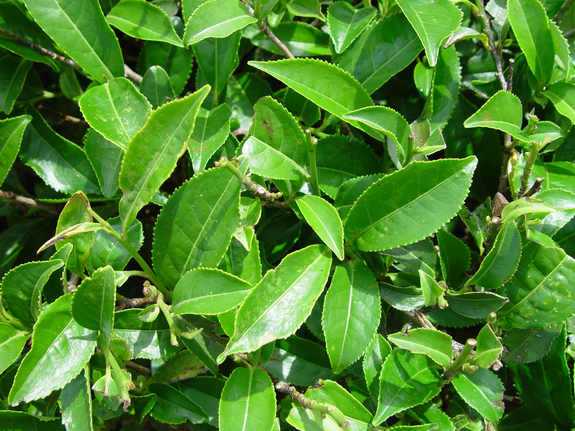All true tea varietals are derived from the same plant, Camellia sinensis, and contain health-promoting compounds.