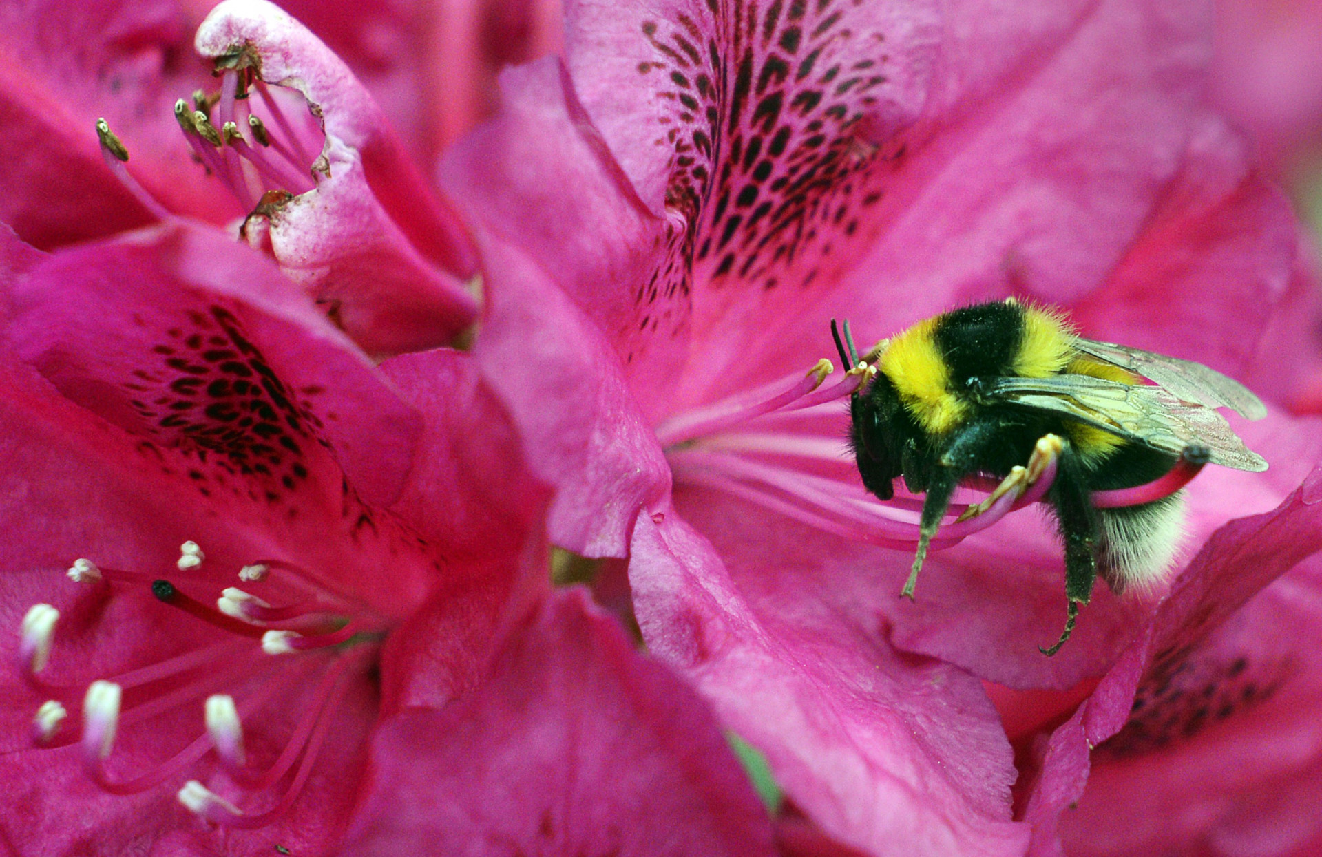 A bumblebee collects pollen from a cherry blossom. New evidence suggests climate change has left bumblebees with a shrinking range of places to live.