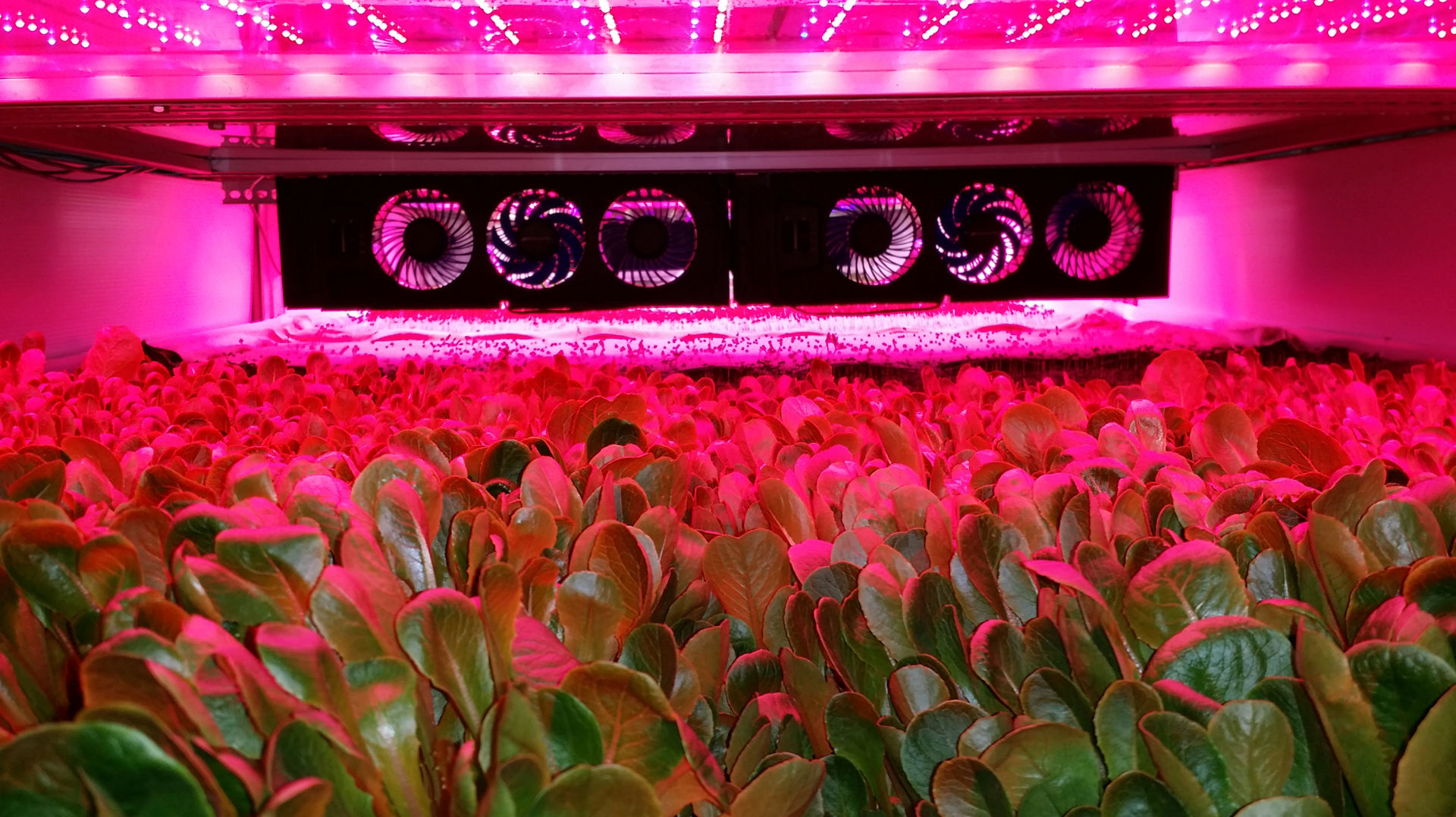 AeroFarms grows greens under intense LED grow lights, while their roots are bathed in a nutrient-rich mist.