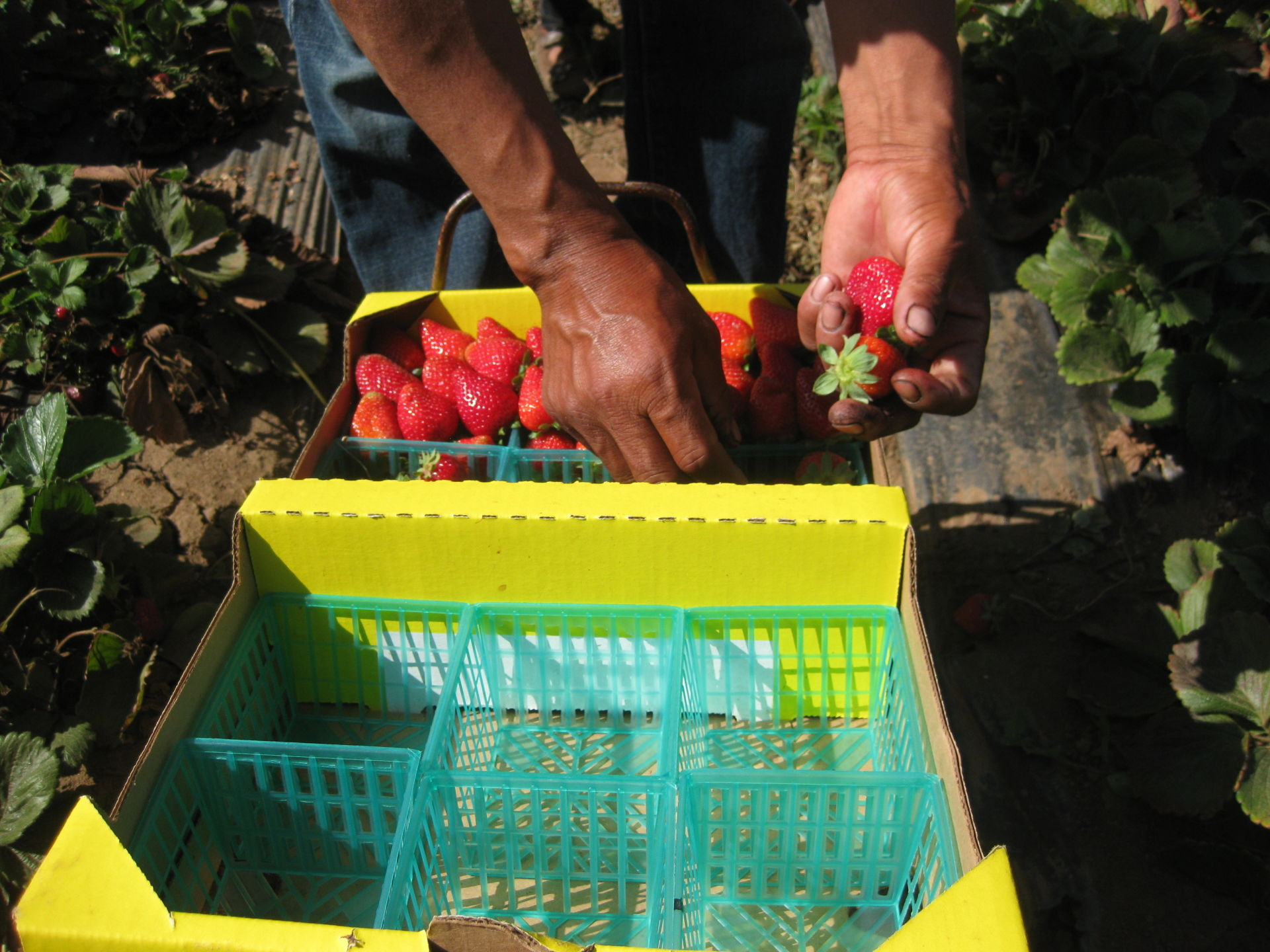 A field worker fills a box of strawberries in Watsonville, Calif. Berry pickers say they're earning less money this year. Because of the drought, there's less fruit to pick, and the fruit that is there is smaller, which means it takes longer to fill a box. Pickers are paid by the box.