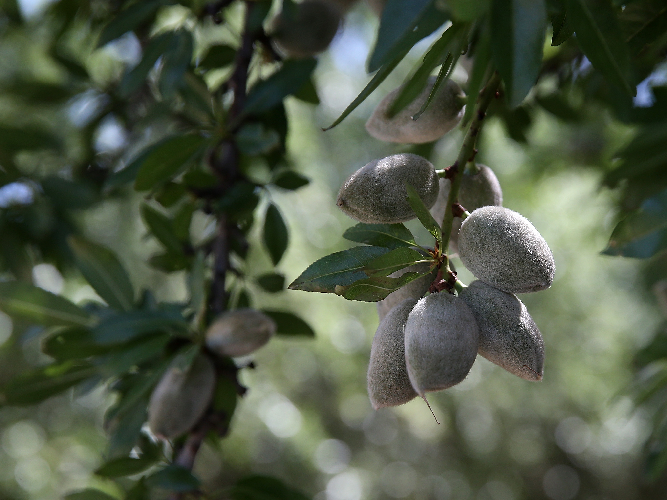 Almonds hang from a branch at an orchard in Firebaugh, Calif. Despite the strain of prolonged drought, in 2014, California farms sold $54 billion worth of crops like almonds or grapes, and animal products like milk.