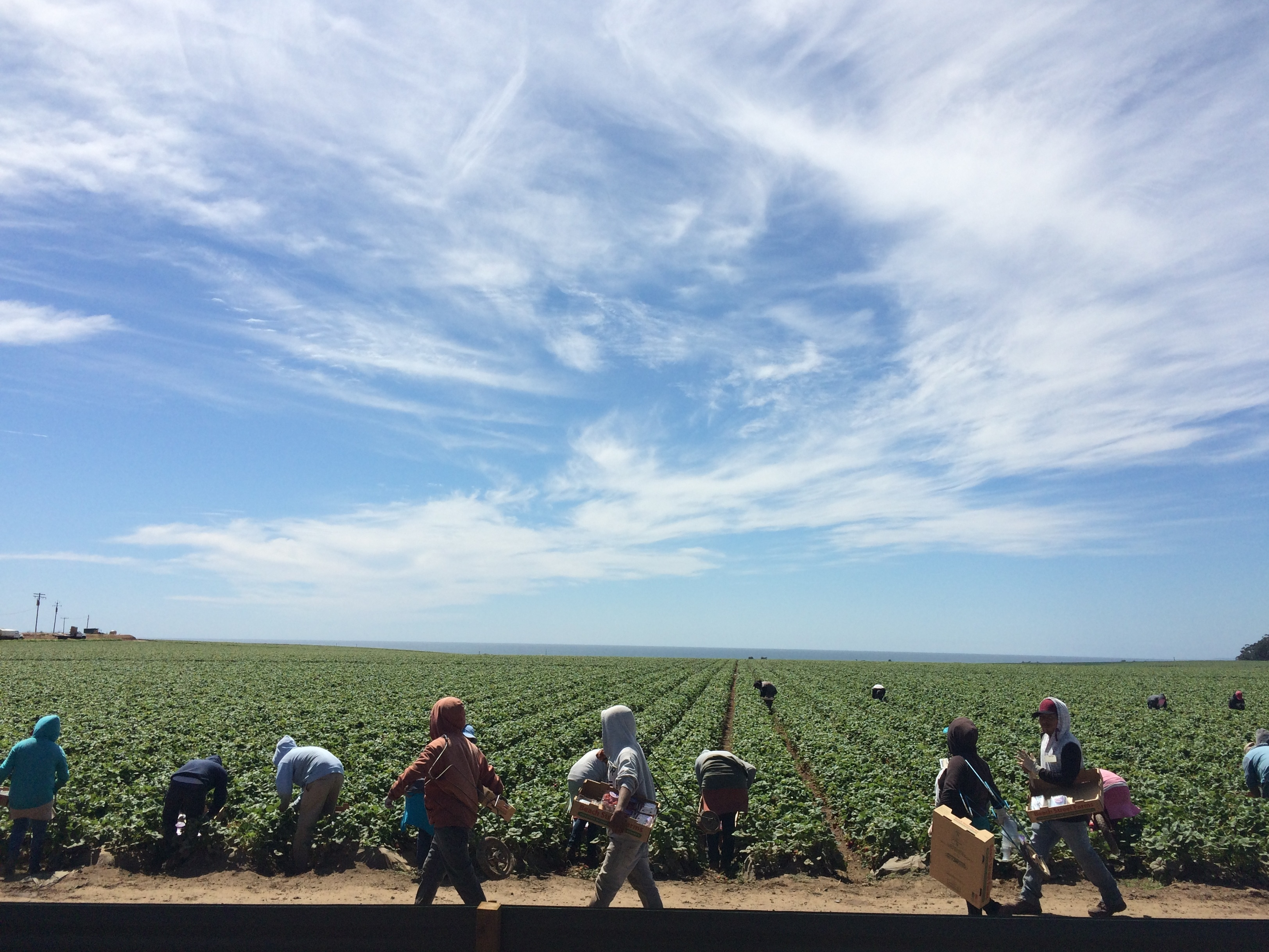 Strawberry pickers in Watsonville, Calif. Many farmworkers in the state are out of work because of the severe drought. Those who do have a job are often working harder for less money.