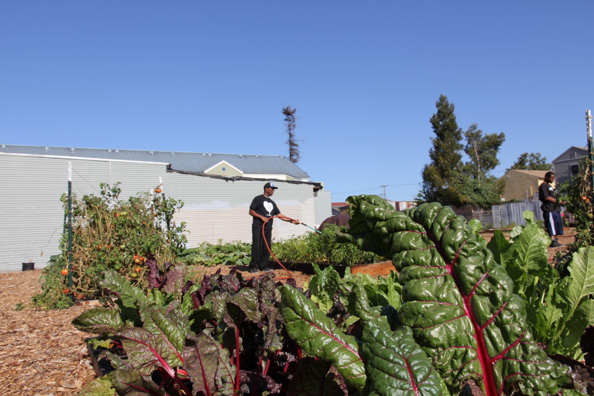 Chard in the West Oakland sun.