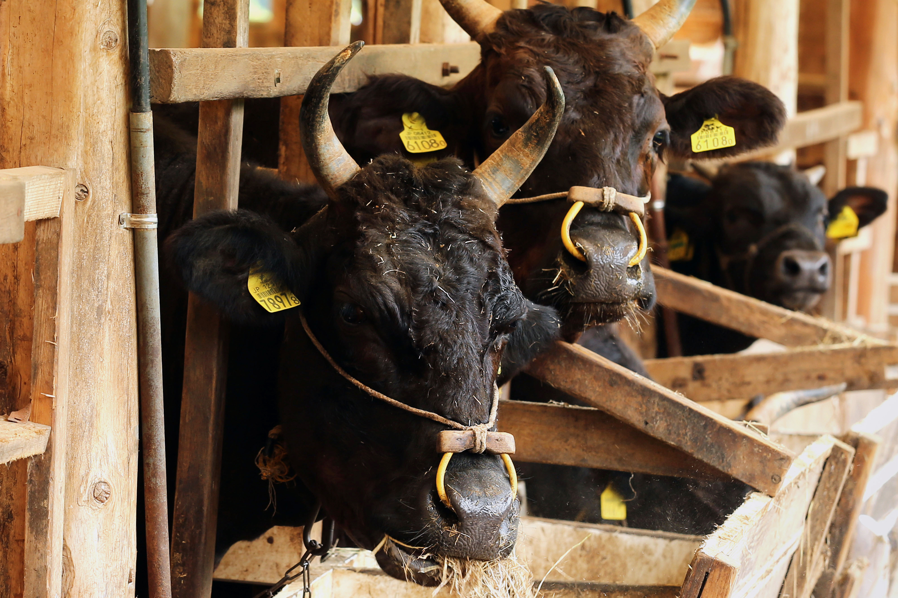 Tajima Wagyu beef cows at a cattle farm in Yabu City, Hyogo Prefecture, Japan. Japan won a provision in the new Pacific Rim trade deal that would push tariffs back up if its beef imports surge.