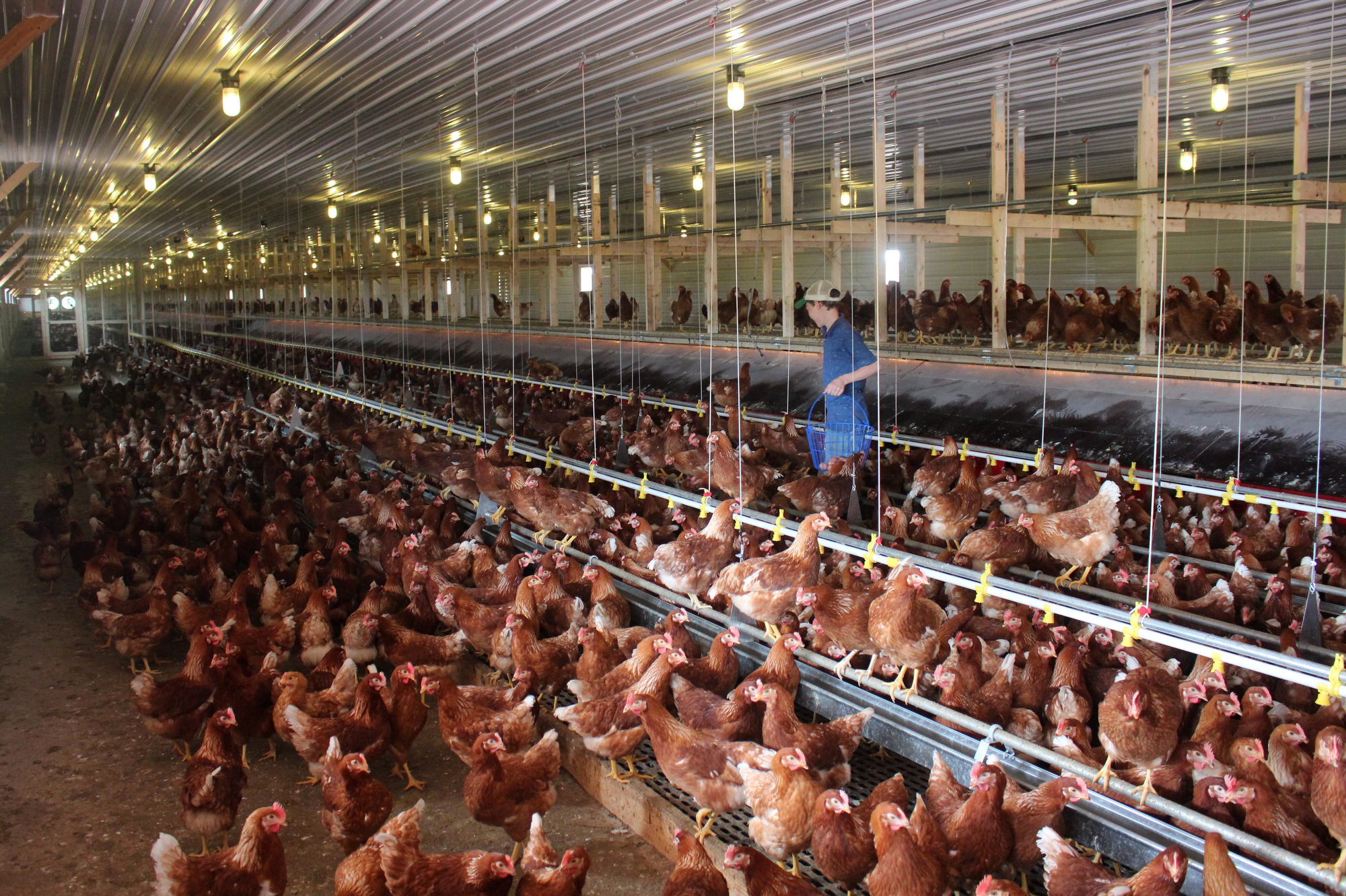 Cage-free chickens in a barn near Hershey, Pa., get to roam and perch on steel rods (but they don't go outside). In September, McDonald's said it would buy only cage-free eggs, inspiring several other food companies to follow suit.