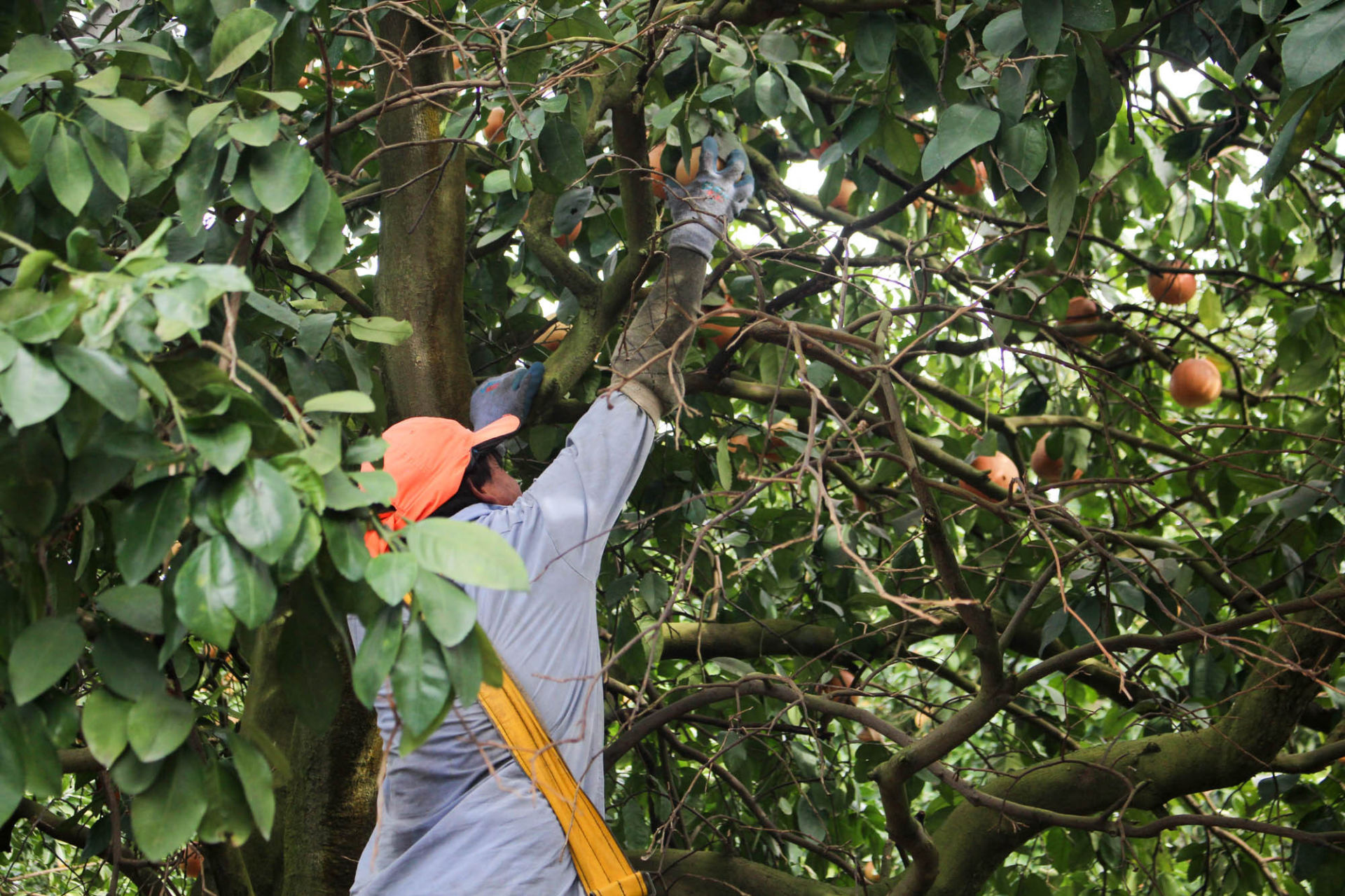 A worker harvests grapefruit near Arcadia, Florida.