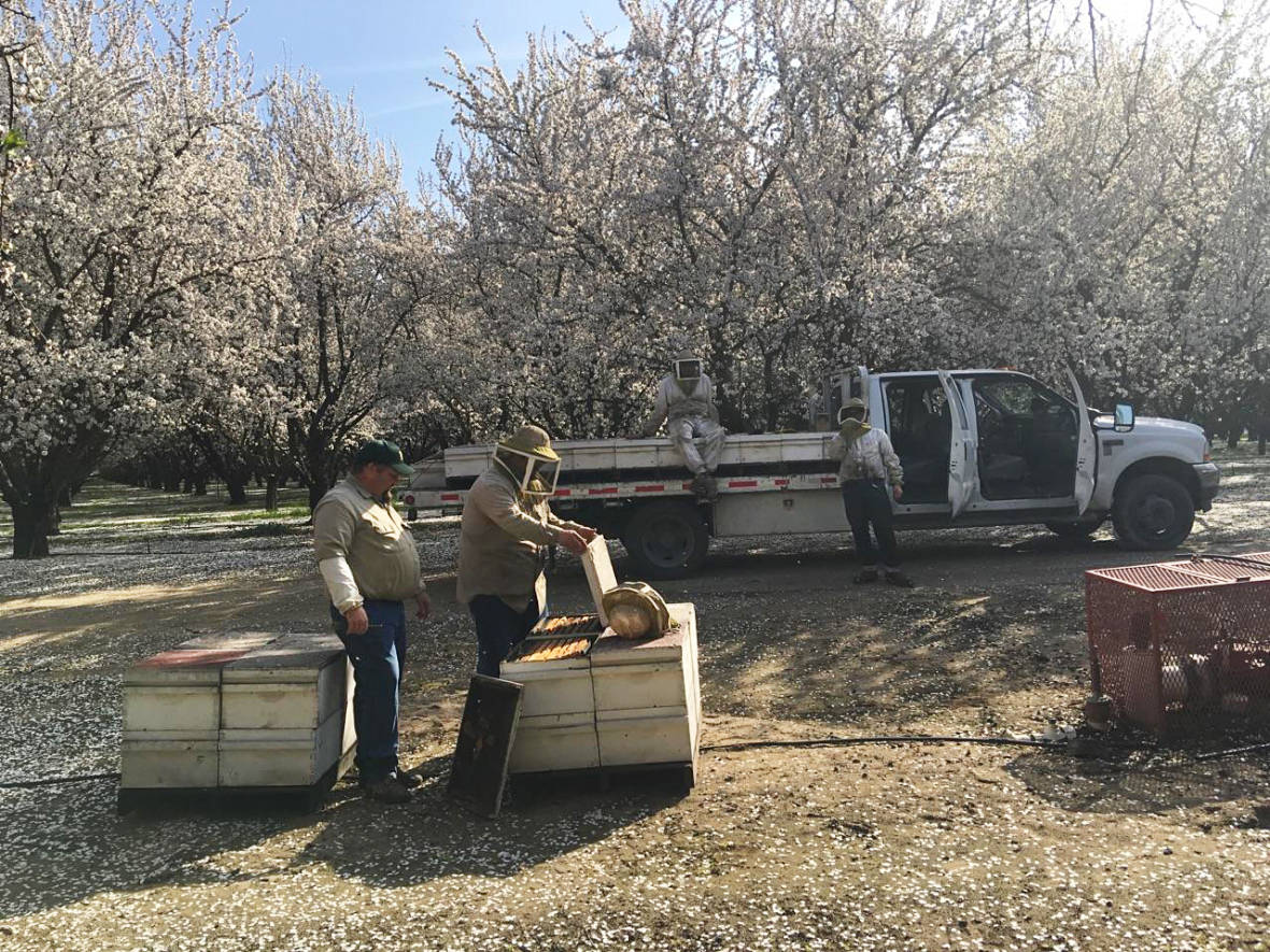 With Bees In Trouble, Almond Farmers Try Trees That Don't Need 'Em