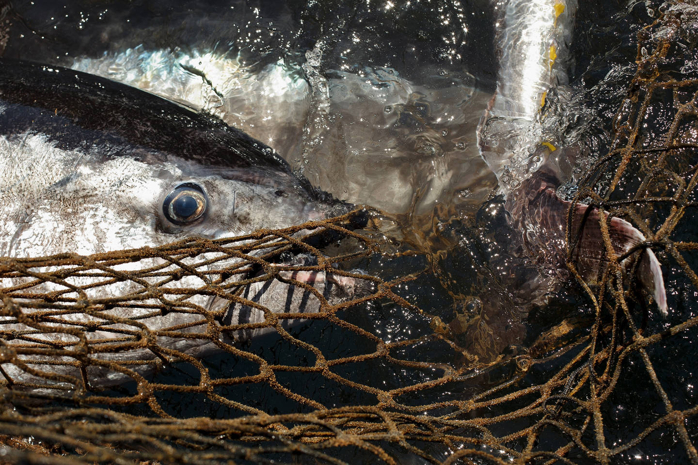 How In Trouble Are Bluefin Tuna, Really? Controversial Study Makes Waves
