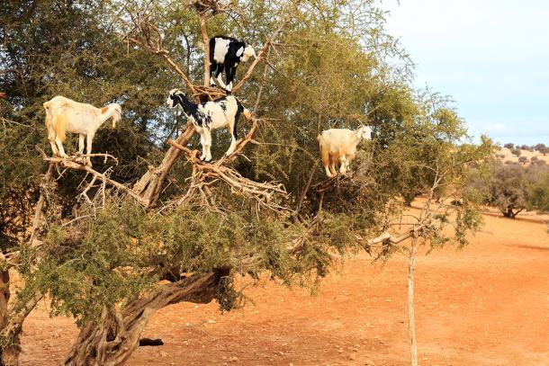 goats climb trees