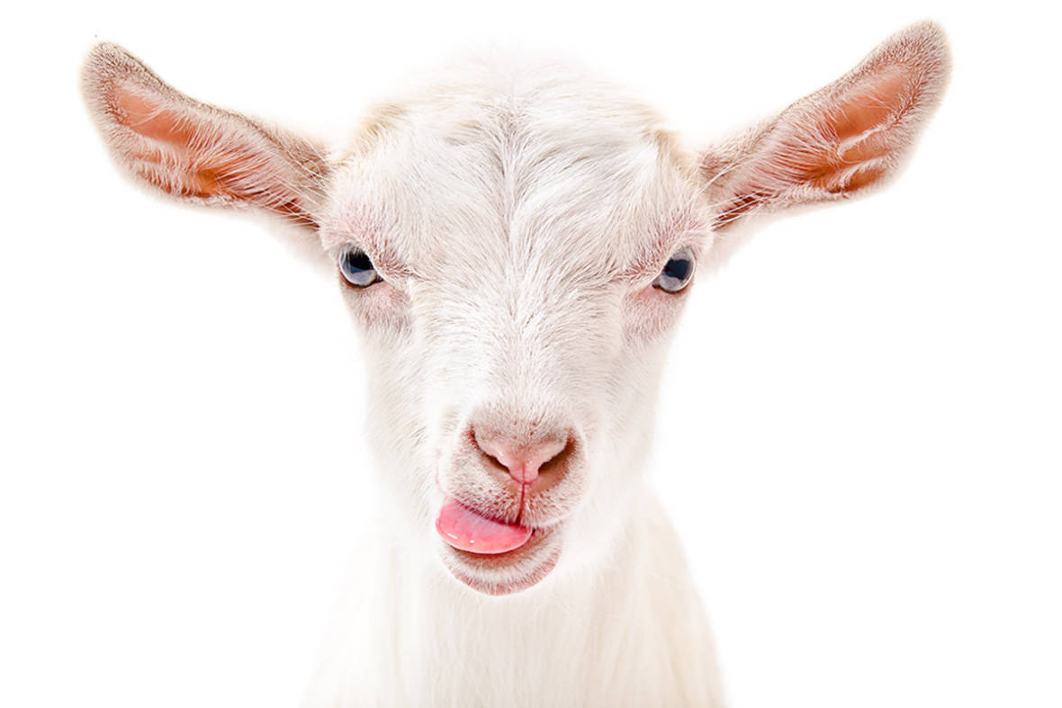 CUESA's Goat Festival is April 16 - Here are 11 Reasons to Go(at) Crazy for Goats