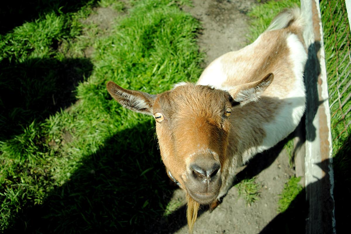 goats have rectangular pupils