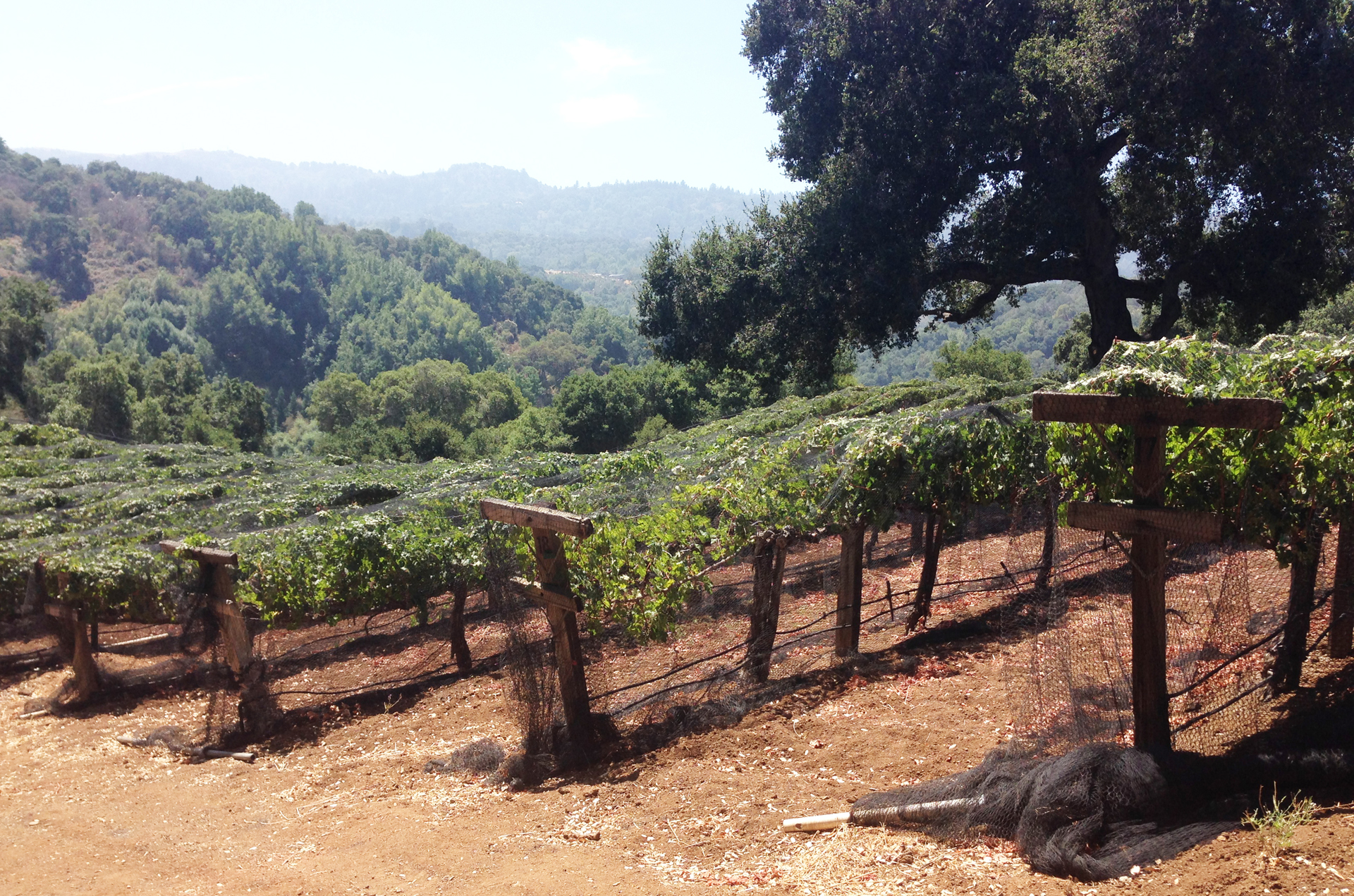 This vineyard in Portola Valley belongs to a well-known billionaire, who like most home vineyard owners, puts up nets to protect grapes from ravaging birds.  Such owners guard their privacy when it comes to their wine activities.