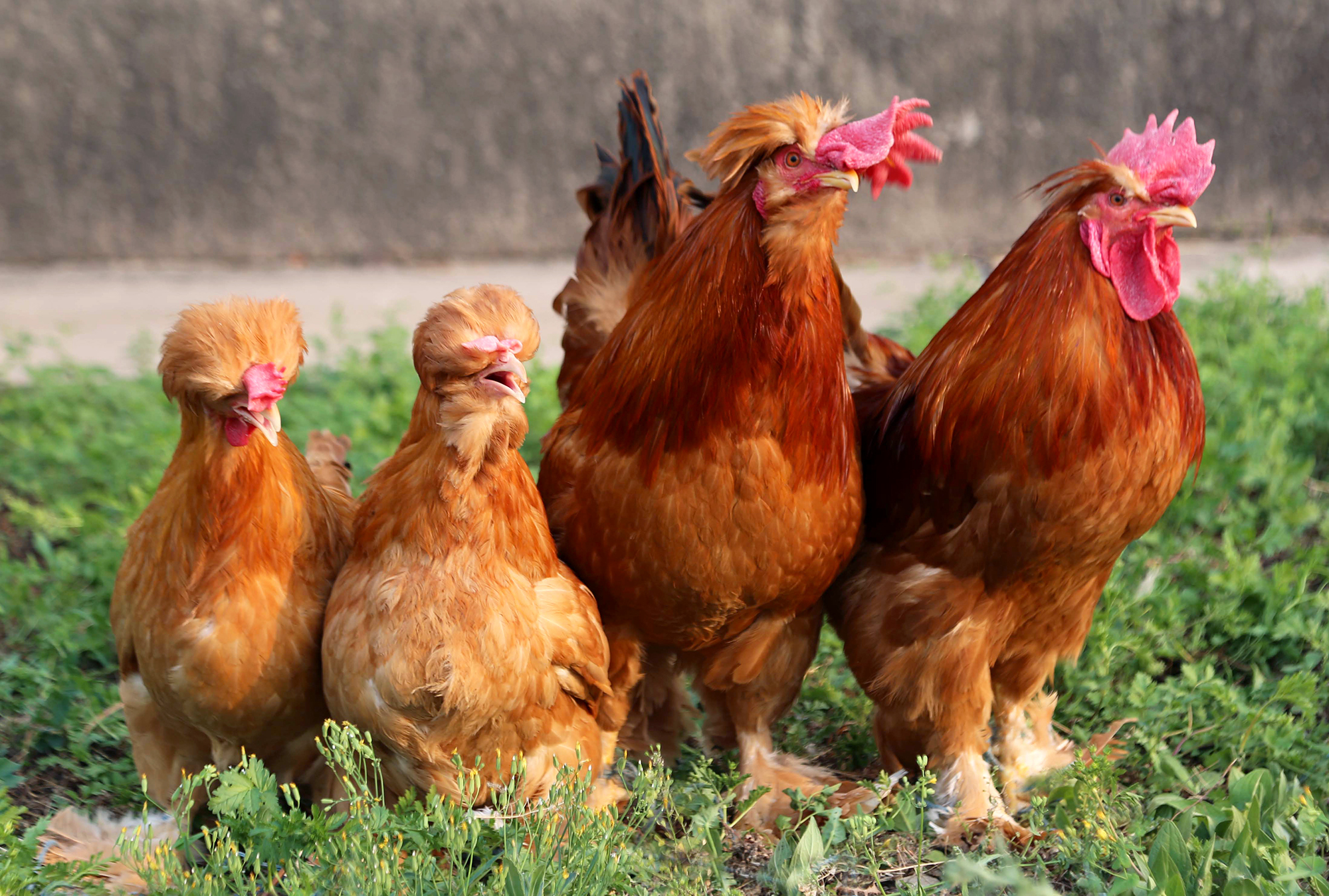 When you've got it, flaunt it: Beards can occur in various chicken breeds. The birds in the middle have them; the ones on the far left and right don't.