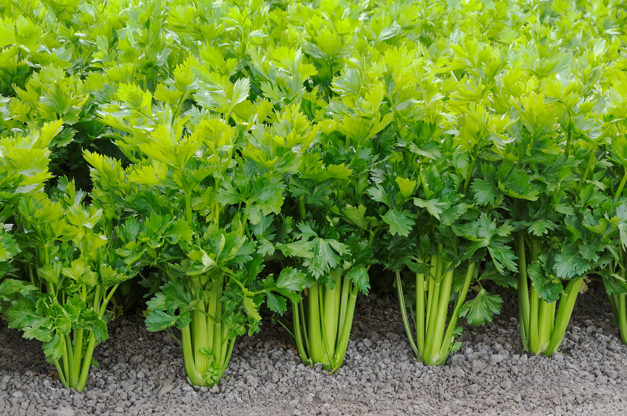 Why did humans start cultivating celery? It's low-calorie and, one might argue, low flavor. We asked some experts at the intersection of botany and anthropology to share their best guesses.