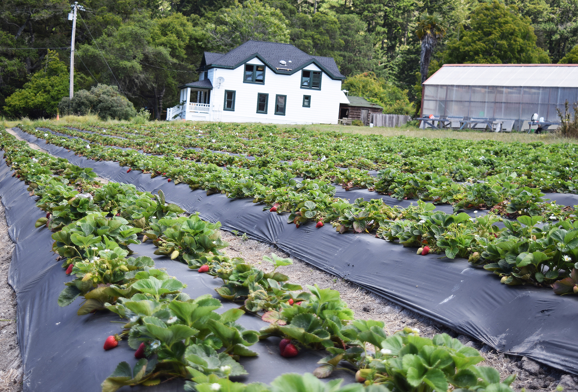 Seascape and Albion strawberries as well as other produce is grown at Green Oaks Creek Farm near the ocean in Pescadero.