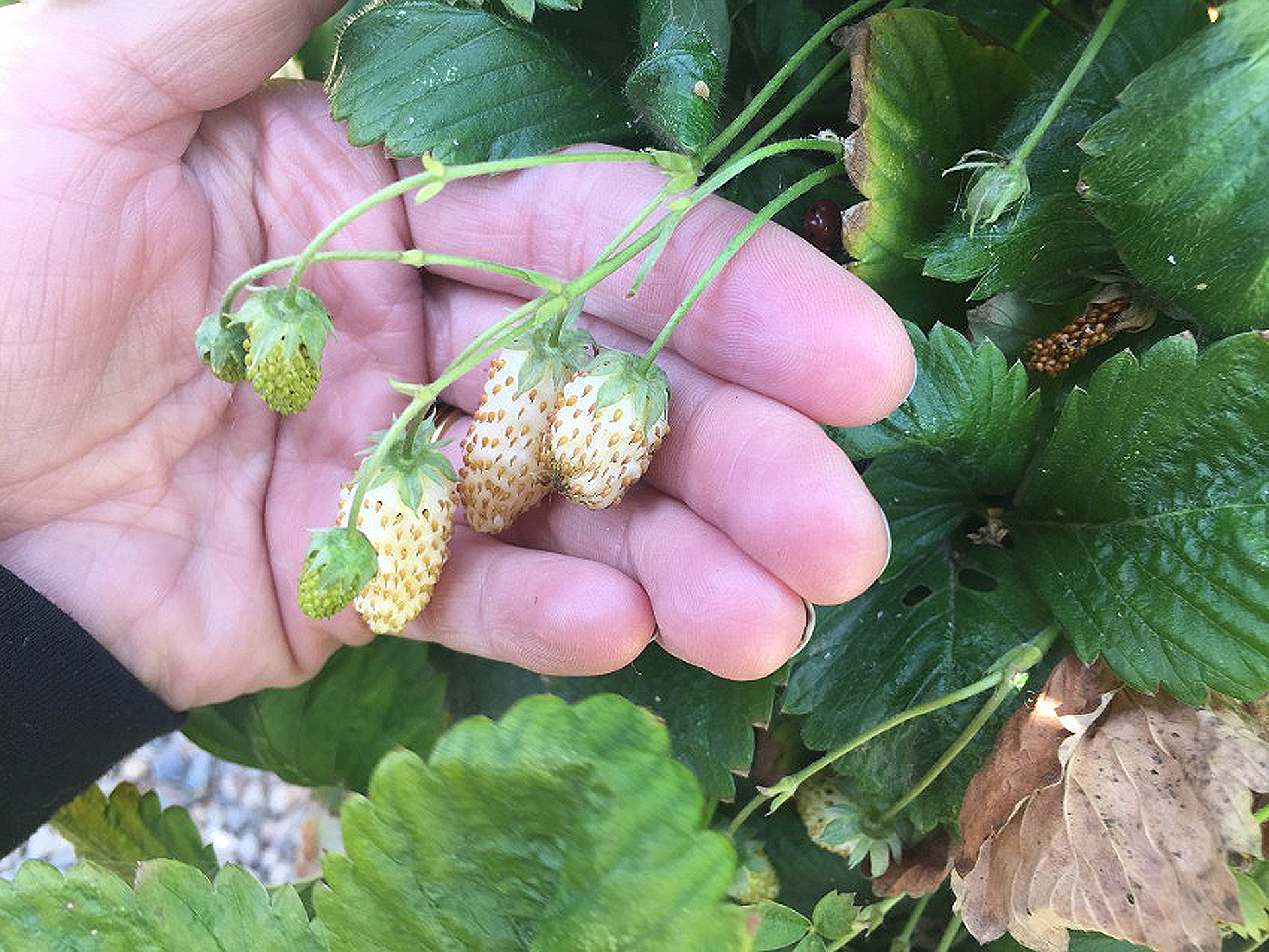 Pinky-sized white and pale yellow fraises des bois could be the most delicious strawberries grown but are exceedingly difficult to find for sale so some berry lovers plant them in their yards.