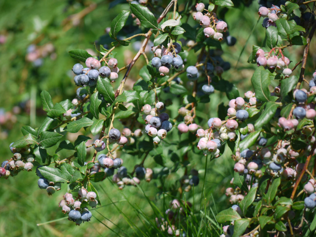 Blueberries—the whole plant