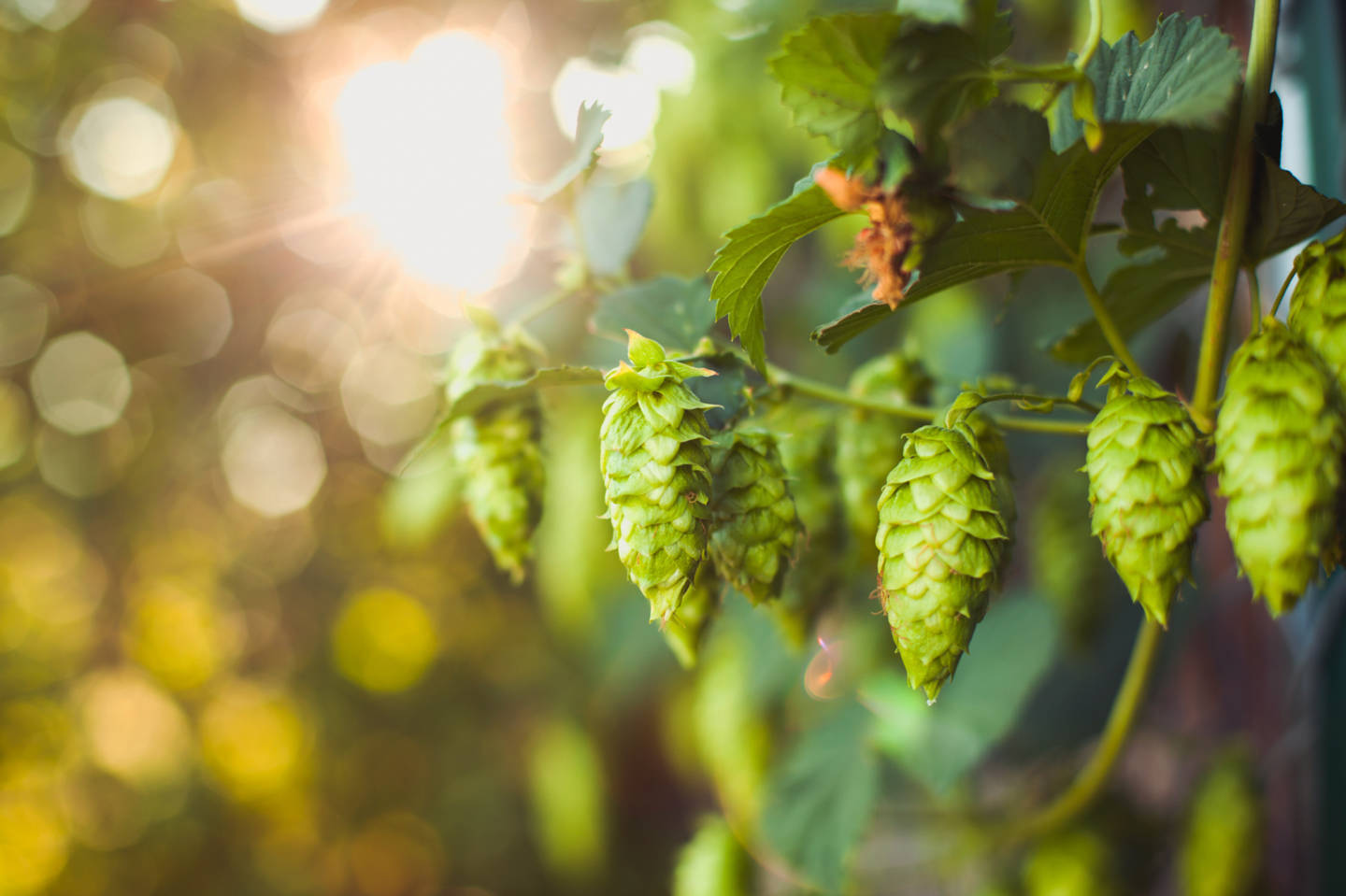 Hop Growers Cheer Craft Brewers For Saving An Ailing Industry