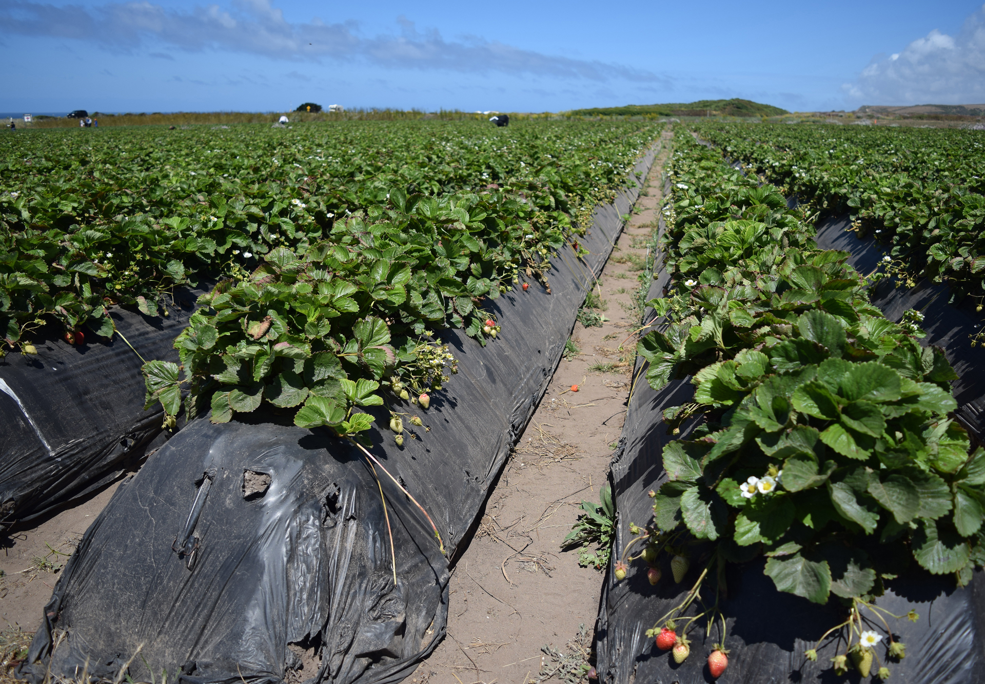 Commercial strawberry production -- conventional and organic -- always involves wrapping the plant roots, soil and drip irrigation in some sort of plastic or membrane.