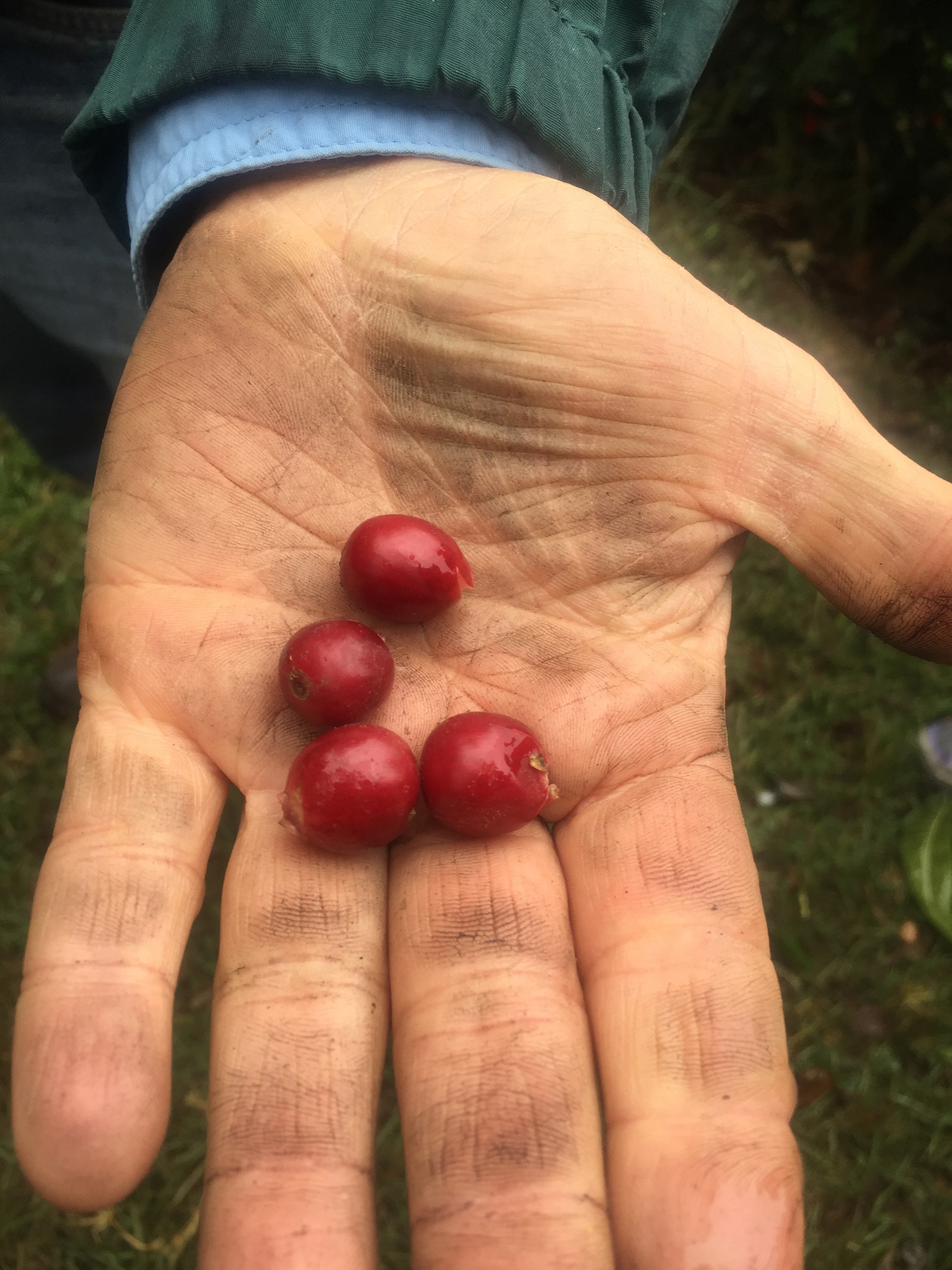 Just-picked coffee cherries