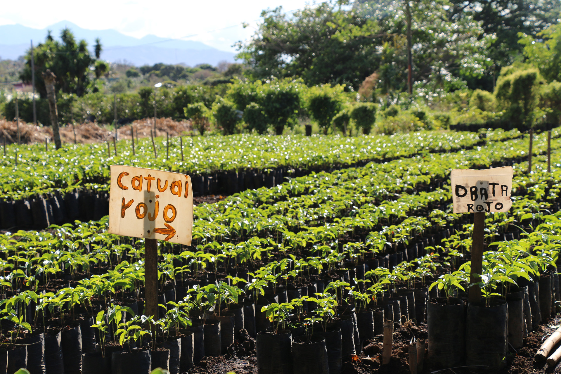 Micro-lots of coffee separated by variety on a farm in Costa Rica