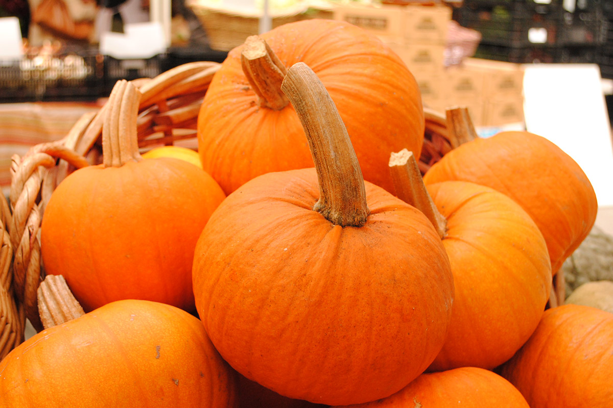 Sugar Pie pumpkins, great for pie-making, on display for the Harvest Festival.