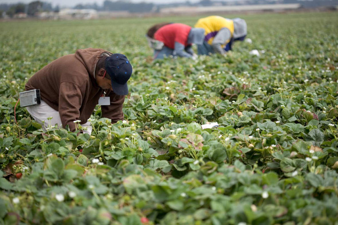 2017 06 28 New Bill Aims To Protect Immigrant Farmworkers  >> As Food And Farmworkers Retreat Guestworker Program Poised To Grow