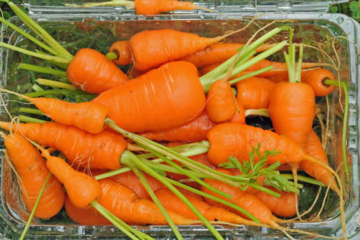 Homegrown Baby Carrots
