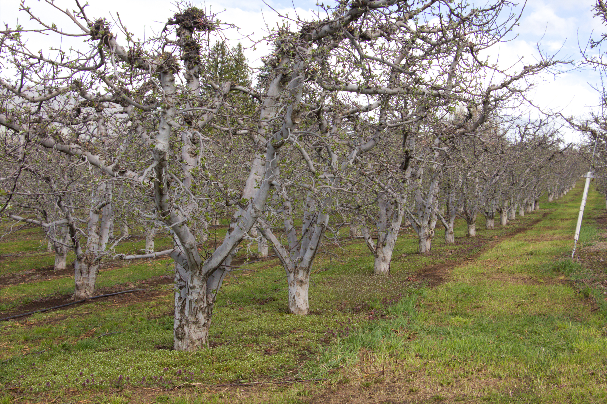 An old-style apple orchard near Malaga, Wash.