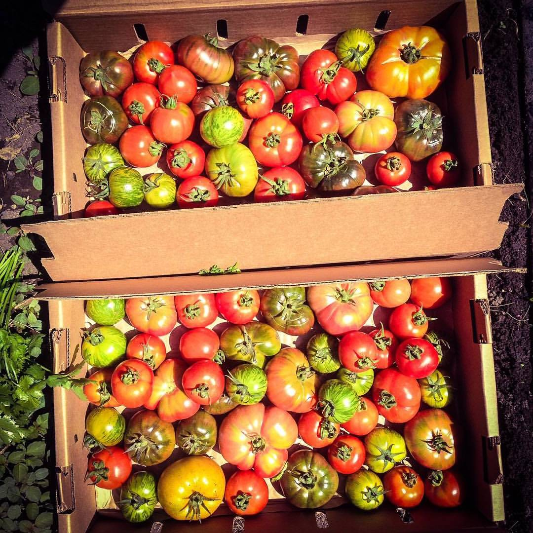Tomatoes grown at Lazy Millennial Farms.